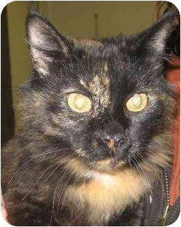 Domestic Mediumhair Cat for adoption in Fairmont, Minnesota - Vivian