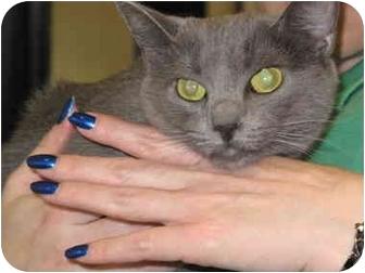 Russian Blue Cat for adoption in Port Republic, Maryland - PowderPuff