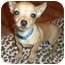 Photo 1 - Chihuahua Puppy for adoption in Troy, Michigan - Jack