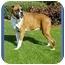 Photo 2 - Boxer Dog for adoption in North Palm Beach, Florida - Dewey