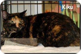 Domestic Shorthair Cat for adoption in Merrifield, Virginia - Kiku