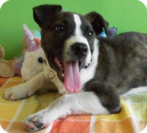 Boxer/Labrador Retriever Mix Puppy for adoption in Struthers, Ohio - Shadow