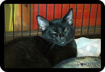Bombay Kitten for adoption in Scottsdale, Arizona - Panther- courtesy post