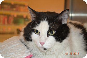 Domestic Longhair Cat for adoption in Gilbert, Arizona - Spot
