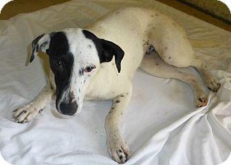 Border Collie/Labrador Retriever Mix Dog for adoption in Oviedo, Florida - Cassie