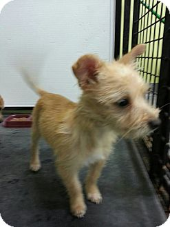 Terrier (Unknown Type, Small) Mix Puppy for adoption in Beacon, New York - Gretel
