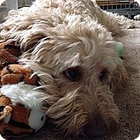 Adopt A Pet :: IN - Ellie - Houston, TX