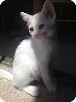Turkish Van Kitten for adoption in Palm desert, California - Paris