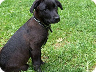 Labrador Retriever Mix Puppy for adoption in Randolph, New Jersey - Shay