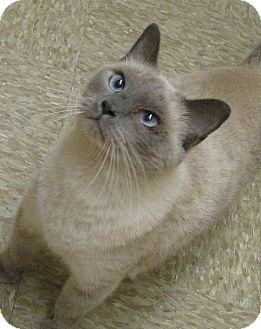 Siamese Cat for adoption in Tulsa, Oklahoma - Shelly
