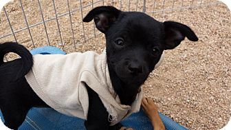 Chihuahua Mix Puppy for adoption in Scottsdale, Arizona - JANET JACKSON