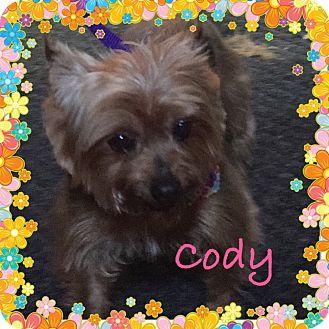 Silky Terrier/Yorkie, Yorkshire Terrier Mix Dog for adoption in Brattleboro, Vermont - CODY