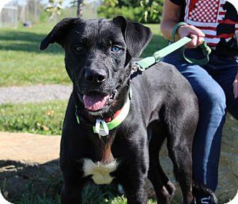 Labrador Retriever Mix Dog for adoption in Elyria, Ohio - Trooper