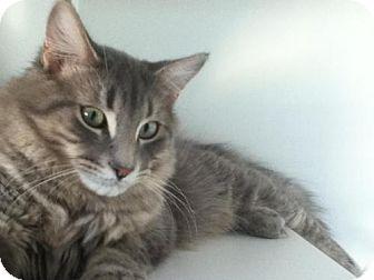 Domestic Mediumhair Cat for adoption in Hamilton, Ontario - Woodward