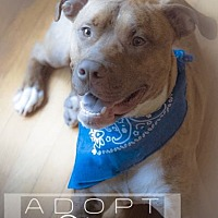 American Pit Bull Terrier Mix Dog for adoption in New York, New York - Bingo