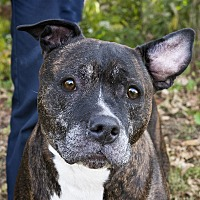 Pit Bull Terrier Mix Dog for adoption in Oakland, New Jersey - Jenna