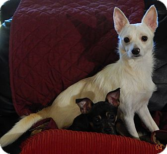 Chihuahua/Terrier (Unknown Type, Small) Mix Dog for adoption in SUSSEX, New Jersey - BamBam(9 lb) Sweet & Loving!
