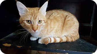 Domestic Shorthair Cat for adoption in Battle Creek, Michigan - charlie