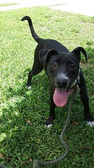 Catahoula Leopard Dog/American Staffordshire Terrier Mix Puppy for adoption in Olympia, Washington - Jasmine