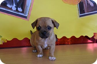 Pug Mix Puppy for adoption in North Judson, Indiana - Marley
