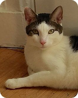 Domestic Shorthair Cat for adoption in Brooklyn, New York - Jasper