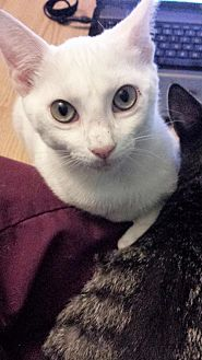 Domestic Shorthair Cat for adoption in Tampa, Florida - Lillith (9566)
