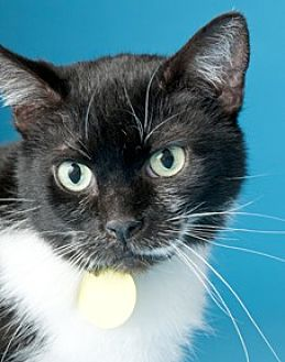 Domestic Shorthair Cat for adoption in Chicago, Illinois - Jayne