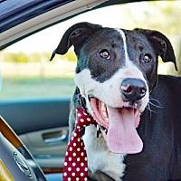 Great Dane Mix Dog for adoption in Denton, Texas - BON JOVI