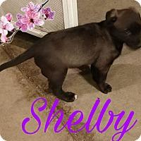 Adopt A Pet :: Shelby - Hesperia, CA