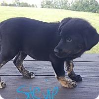 Adopt A Pet :: Stevie - Sussex, NJ