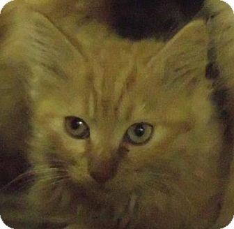 Domestic Longhair Cat for adoption in Alturas, California - Jazzy