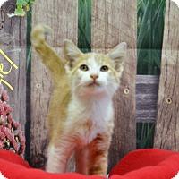 Adopt A Pet :: Angel - Lebanon, MO
