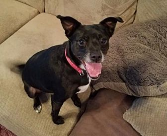 Boston Terrier/Rat Terrier Mix Dog for adoption in Northport, Alabama - Bodie