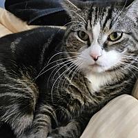 Domestic Shorthair Cat for adoption in Richboro, Pennsylvania - Charlie