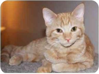 Domestic Shorthair Kitten for adoption in Arlington Heights, Illinois - Puddin