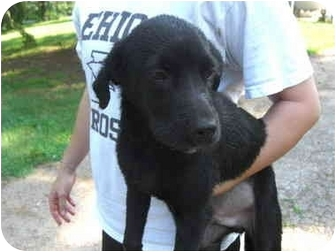 Labrador Retriever Mix Puppy for adoption in Bel Air, Maryland - Ottis