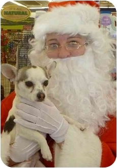 Chihuahua/Chihuahua Mix Puppy for adoption in Broomfield, Colorado - Drummer Boy