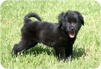 Labrador Retriever/Collie Mix Puppy for adoption in Houston, Texas - Colton