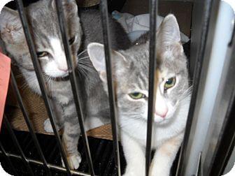 Domestic Shorthair Kitten for adoption in Trenton, New Jersey - Theresa & Joan (in foster)