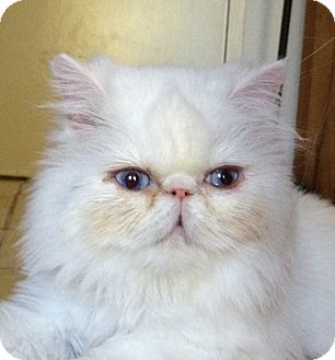 Persian Cat for adoption in Beverly Hills, California - Crystal