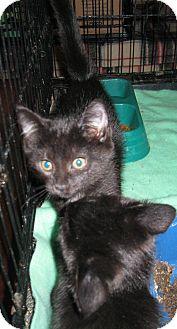 Domestic Shorthair Kitten for adoption in Harriman, New York - Jerry and Joe