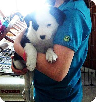 Catahoula Leopard Dog/Boston Terrier Mix Puppy for adoption in Kalamazoo, Michigan - Heidi