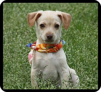 Miniature Pinscher/Yorkie, Yorkshire Terrier Mix Puppy for adoption in Cranford, New Jersey - Lucas