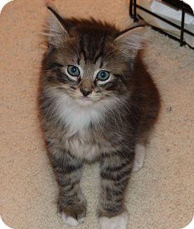 Maine Coon Kitten for adoption in Jacksonville, Florida - Alexander