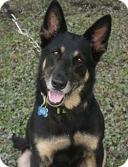 German Shepherd Dog Dog for adoption in Odessa, Florida - BETTINA
