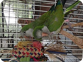 Parakeet - Quaker for adoption in Punta Gorda, Florida - Patti