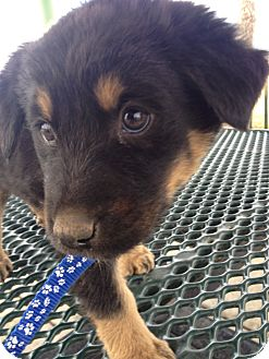 Shepherd (Unknown Type)/Border Collie Mix Puppy for adoption in Westminster, Colorado - Christopher