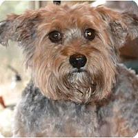 Adopt A Pet :: Bear - Greensboro, NC