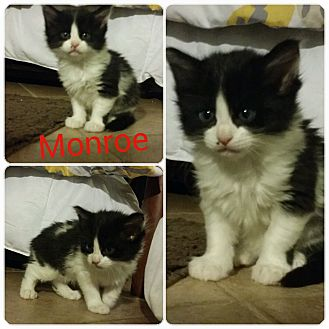 Domestic Mediumhair Kitten for adoption in Arlington/Ft Worth, Texas - Monroe