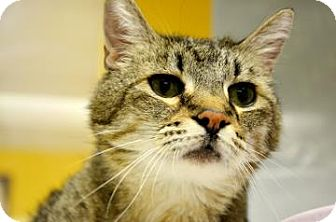 Domestic Shorthair Cat for adoption in Fort Smith, Arkansas - Eddie